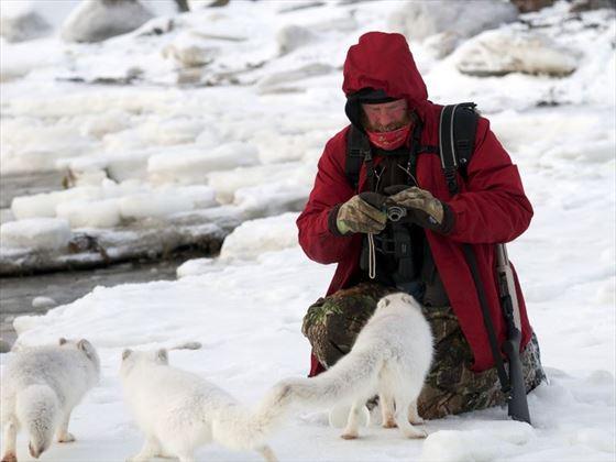 Arctic Foxes; Credit C Attinger; Churchill Wild