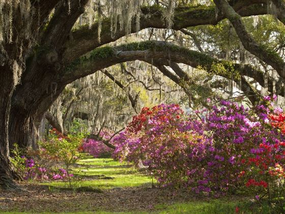 Azaleas blooming in Charleston