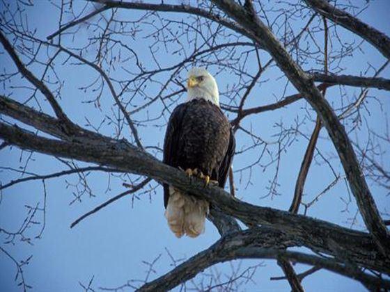 Bald Eagle at Annapolis Valley