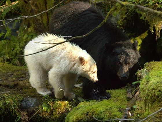 Mother and cub in the wilderness surrounding Spirit Bear Lodge