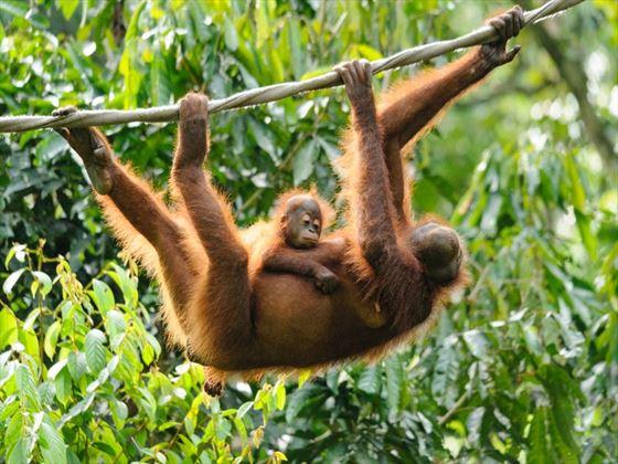 Orangutans in the rainforest