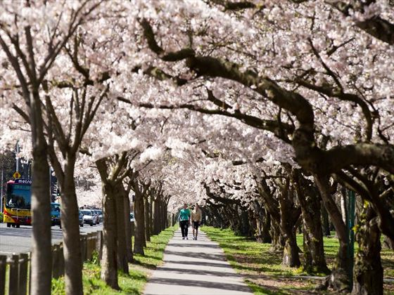 Cherry blossoms in Christchurch