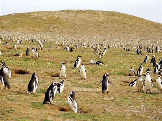 Colony of Magdalena Penguins