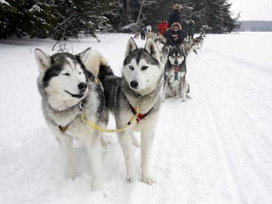 Dog sledding in Manitoba