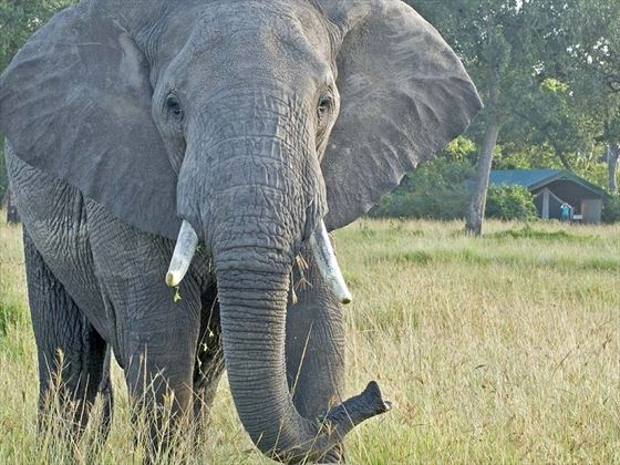 Elephant at Governors' Camp