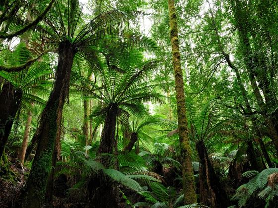 Fern forest in Mt Field National Park