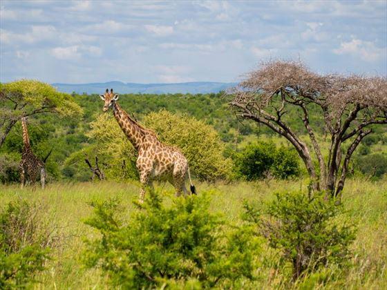 Giraffe in Hluhluwe