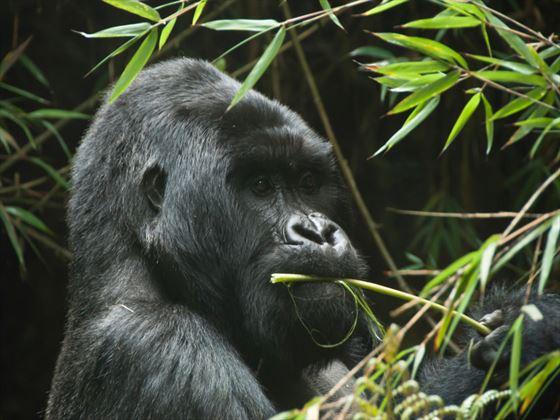 Gorilla eating, Rwanda