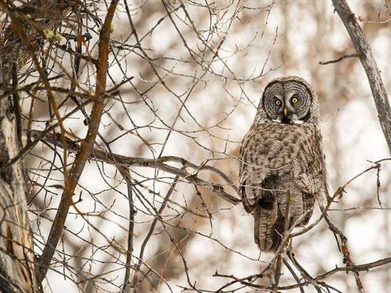 Great grey owl in Grand Teton National Park