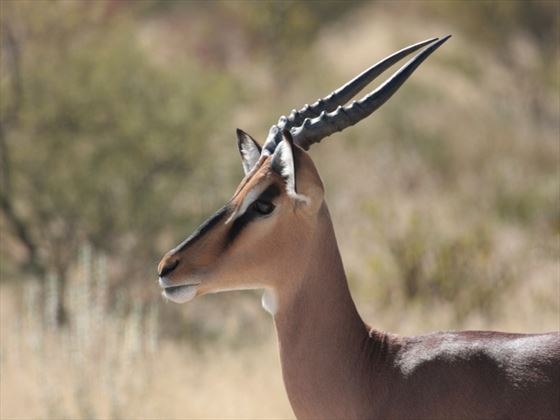 Impala at Serengeti National Park