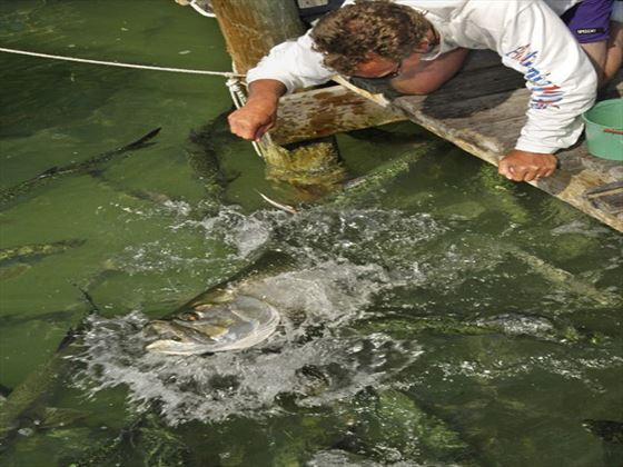 Tarpon Feeding at Robbie's Marina