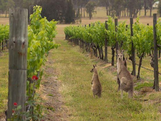 Kangaroos in the vineyards of Hunter Valley
