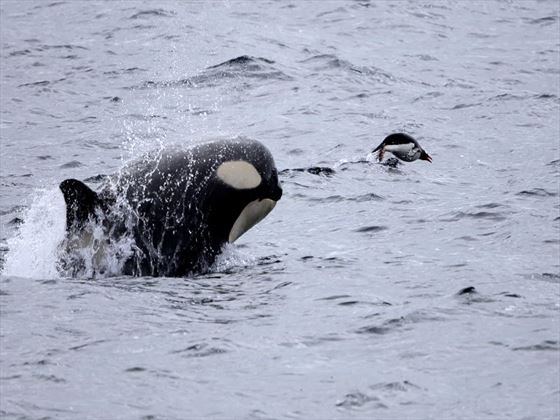 Whales in the Antarctic waters