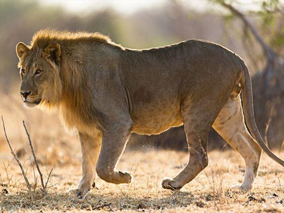 Lion sightinig on game drive