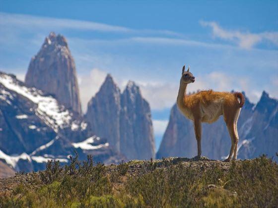 Llama at Torres del Paine National Park