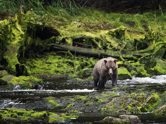 Grizzly approaches from mossy riverbank, Chichagof Island, Juneau, Alaska