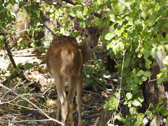 menjangan-deer-bali