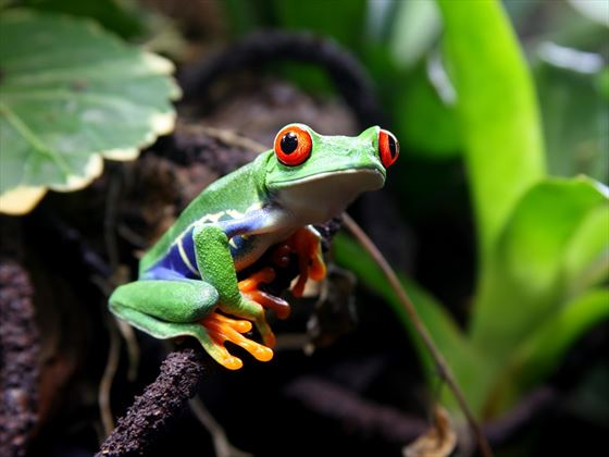 Native Red-Eyed Tree Frog, Costa Rica