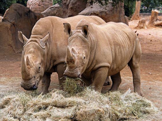 Rhinos at Johannesburg