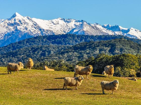 Sheep in South Island's green meadows