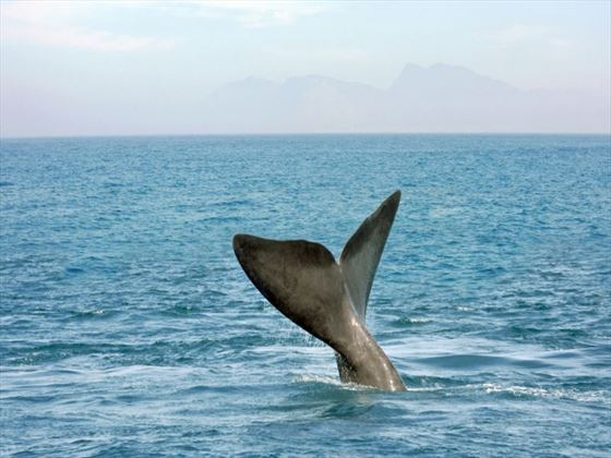 Whales at Hermanus
