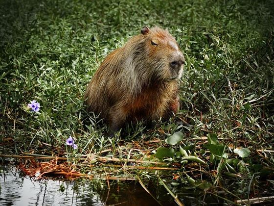 The Native Capybara Rodent in the Ibera Wetlands, Argentina