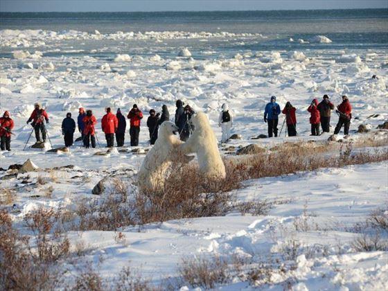 Up close to the polar bears; Credit Bill Lyne; Churchill Wild