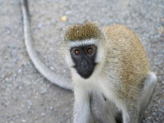 Vervet monkey at Lake Nakuru National Park