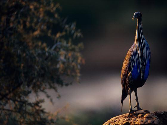 Vulturine guineafowl, Samburu National Park