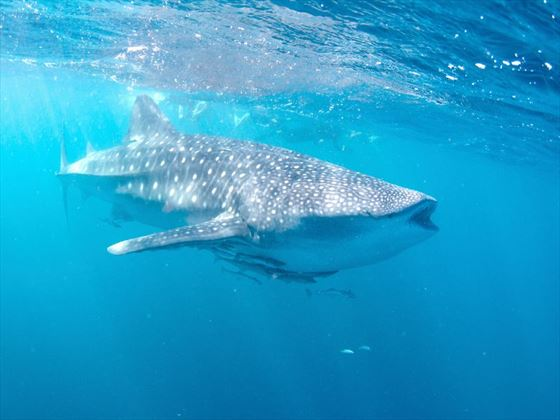 Whale shark in the Ningaloo Reef