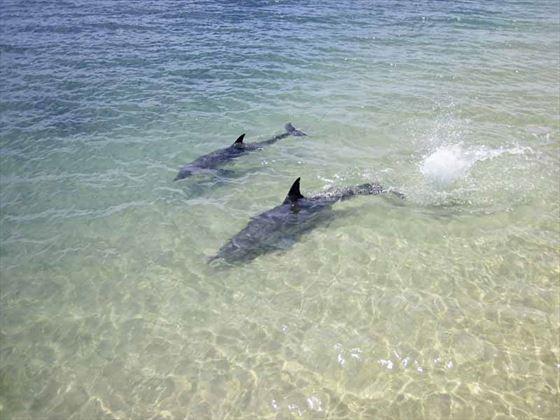 Wild dolphins at Monkey Mia