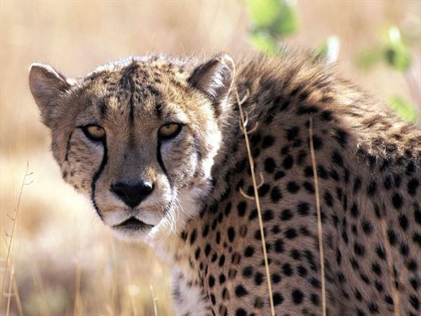 cheetah tsav08