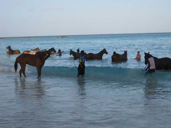 resized 800x600 horses in the sea