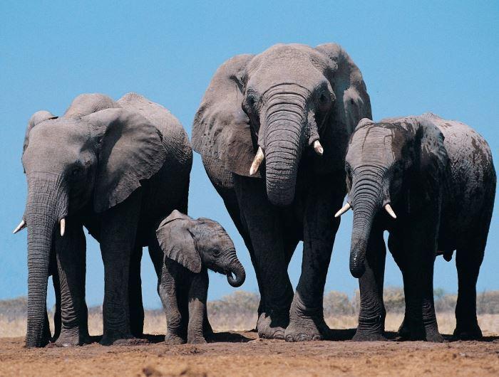 Etosha elephants - getty