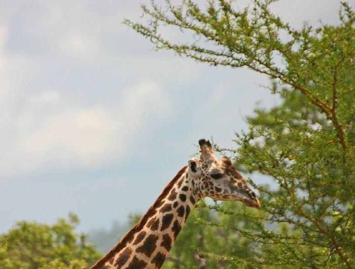 Jenn O'Neill giraffe