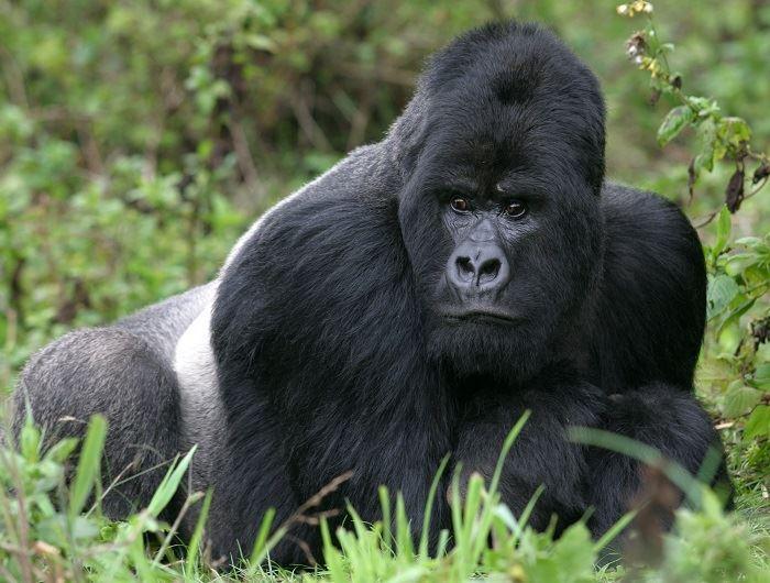 Getty gorilla