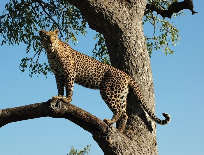 Mike Collins leopard in South Africa
