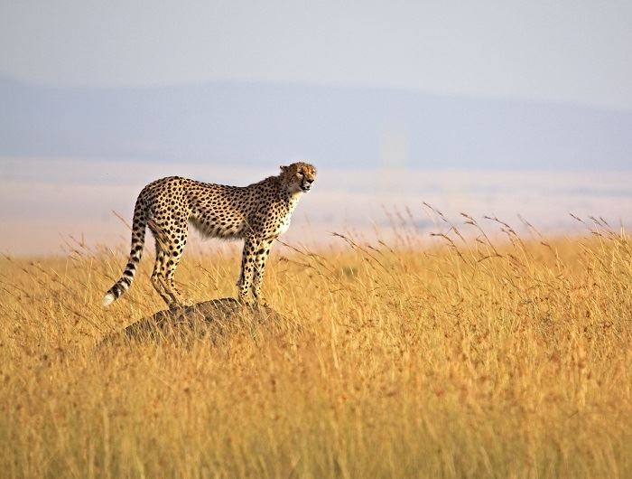 Getty leopard in Tanzania