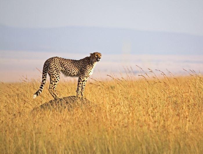 Getty leopard in Tanzania
