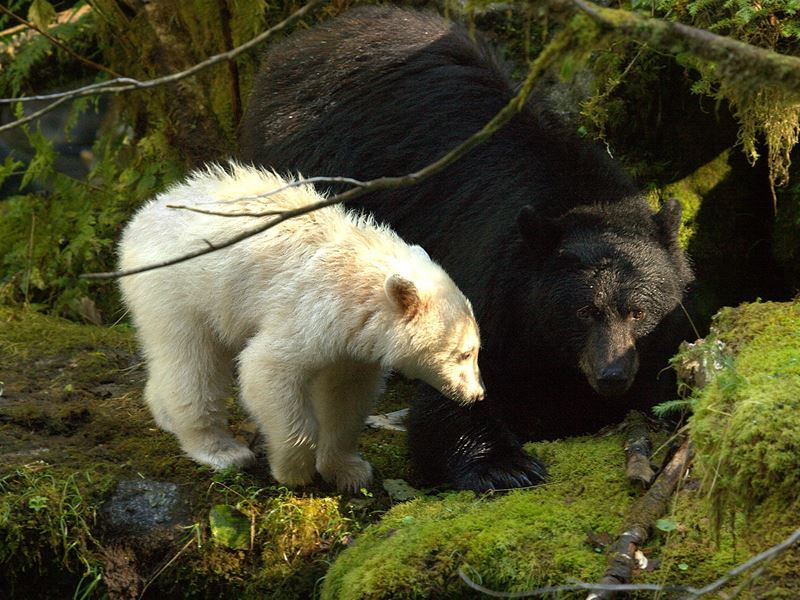 bears in the surrounding wilderness spirit bear lodge