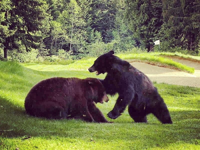 black bears playing at whistler golf club
