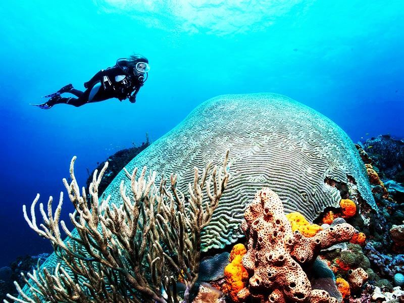 brain coral speyside dive site tobago