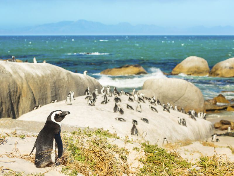 Colony of penguins on Boulders Beach