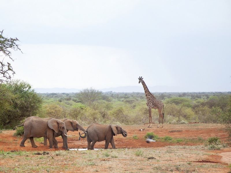 elephants and giraffe by waterhole kenya