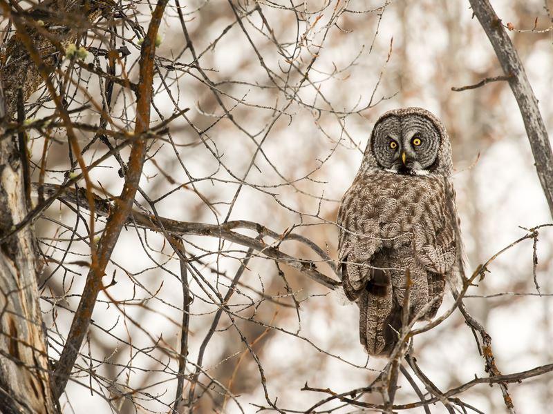 great grey owl grand teton wyoming