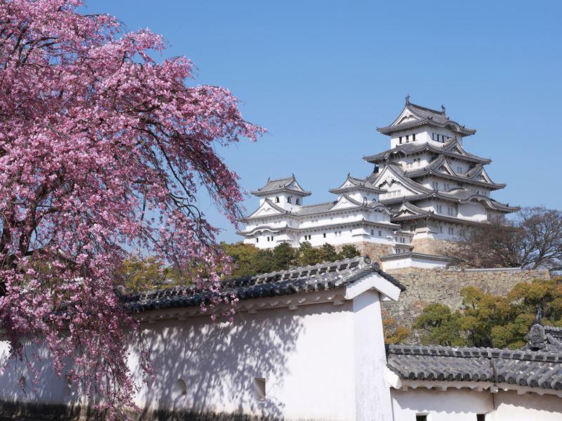 himeji castle blossom japan