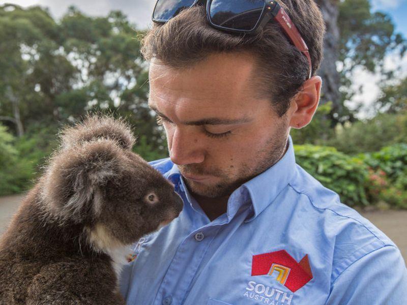 koala kangaroo island   tourism australia