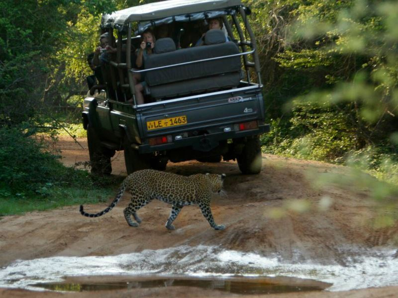 leopard spotting leopard safaris