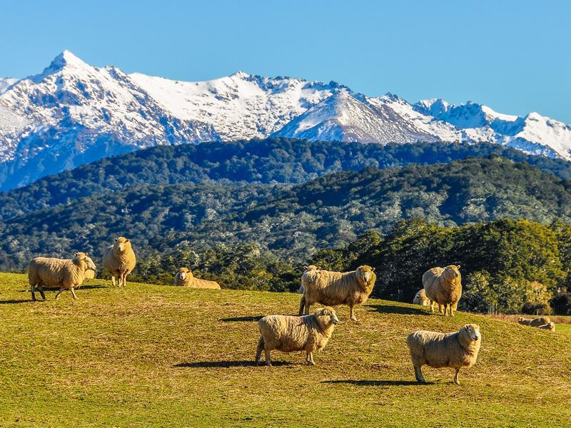 sheep in green meadow south island nz