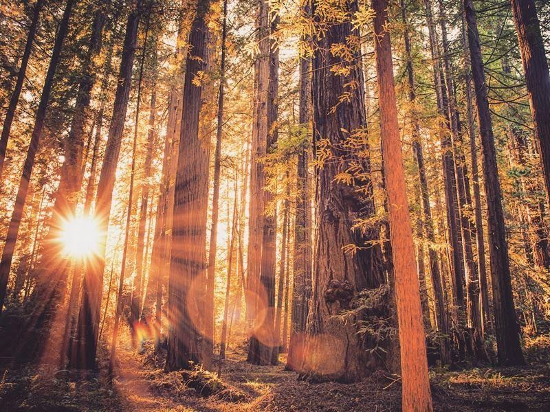 sunburst through the trees redwood national park